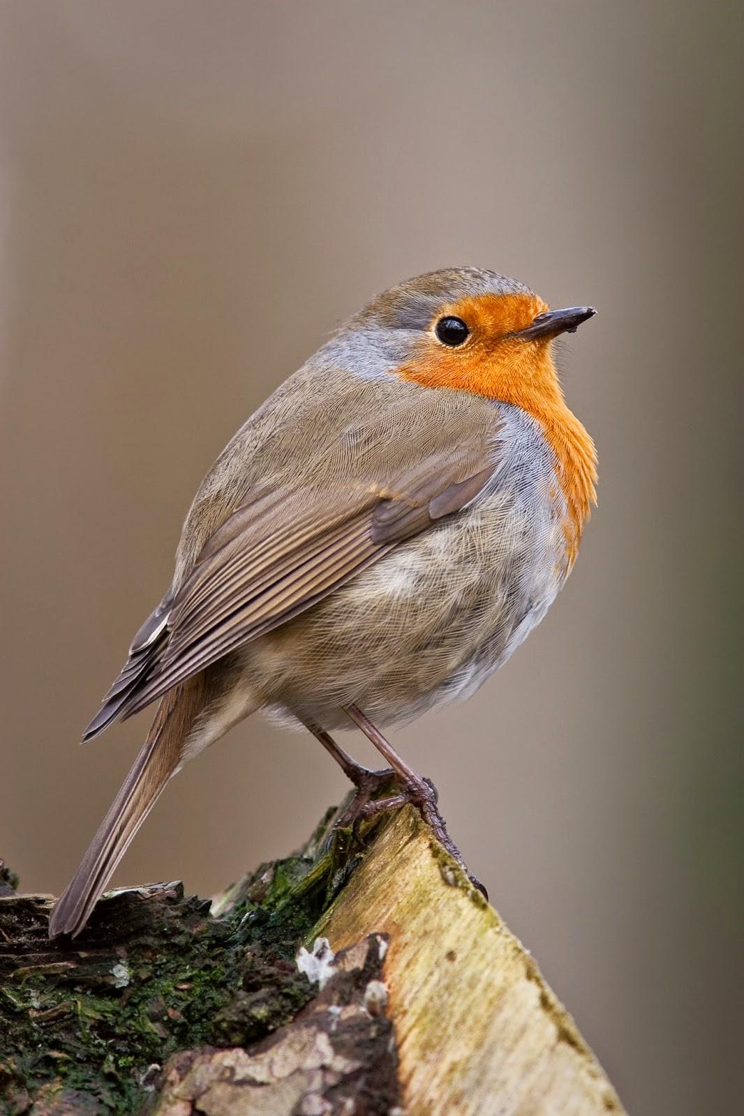 http://www.oiseaux.net/chant/jean.roche/erithacus_rubecula.mp3