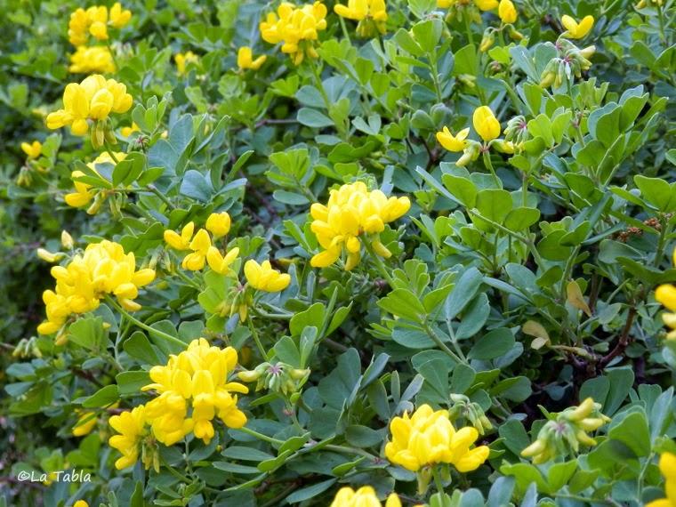 Jardines mediterr neos coronilla glauca - Calibrachoa perenne ...
