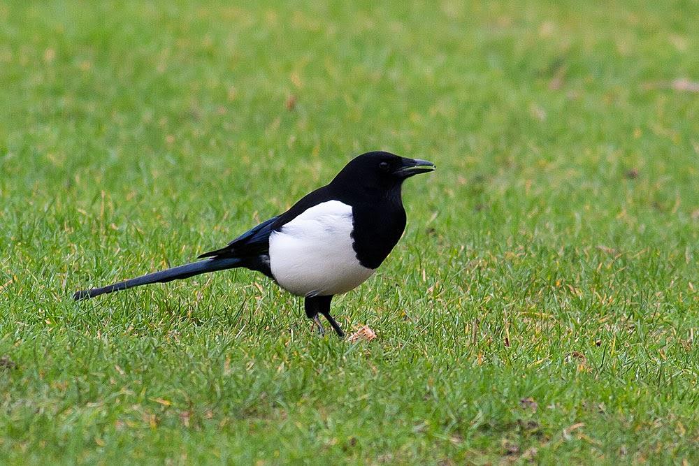 Black-Billed Magpie, Lodge Lake, Milton Keynes