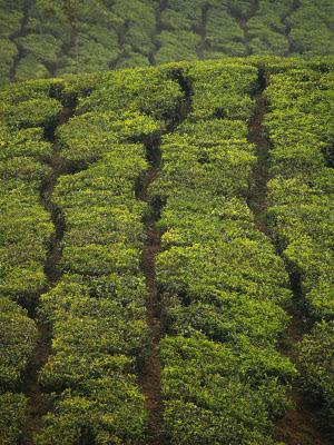 Piantagioni di tè a Munnar