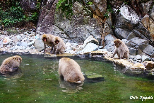 Snow Monkey on Hot Spring Bath