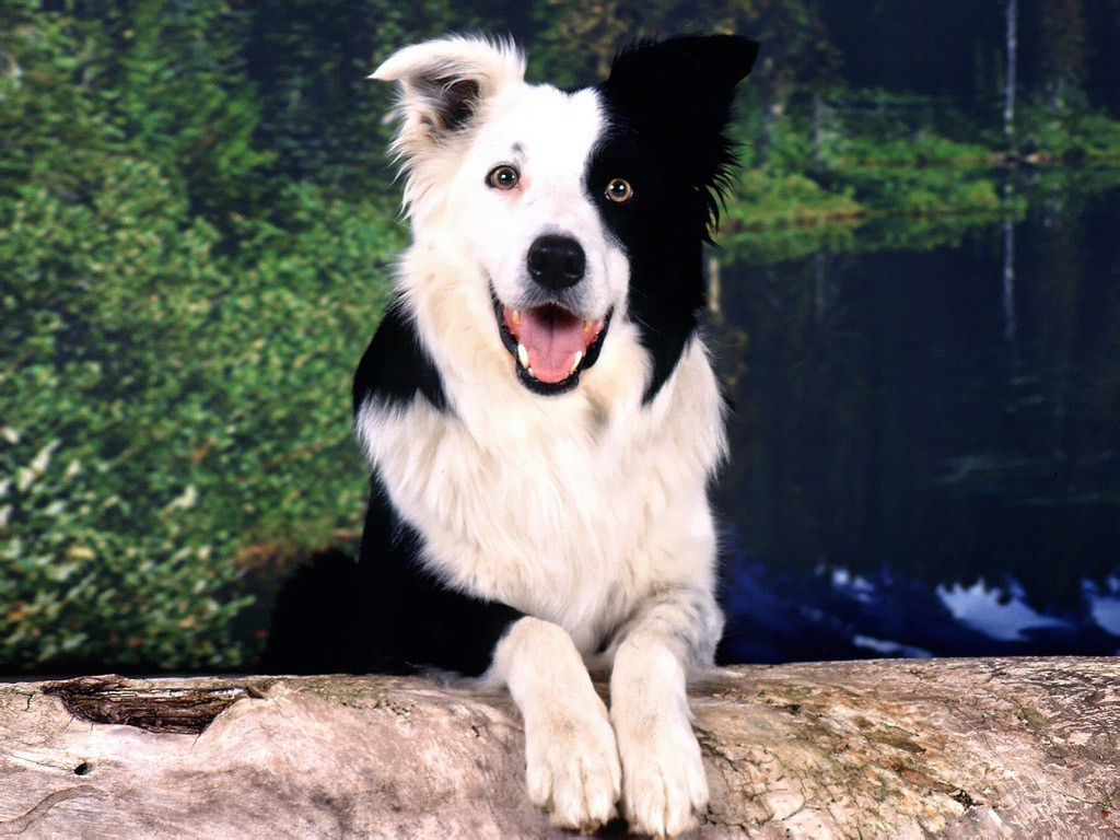 The border collie the border collie is a medium size dog renowned for