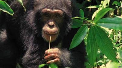 Chimpanzés têm habilidade cerebral para cozinhar