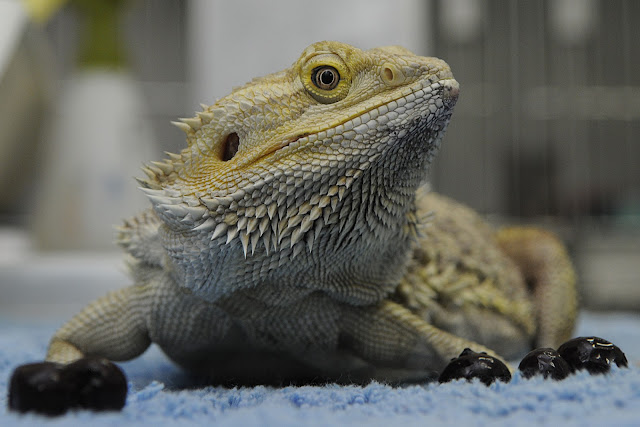 bearded dragon pet health