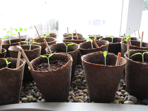 happy tomato sprouts