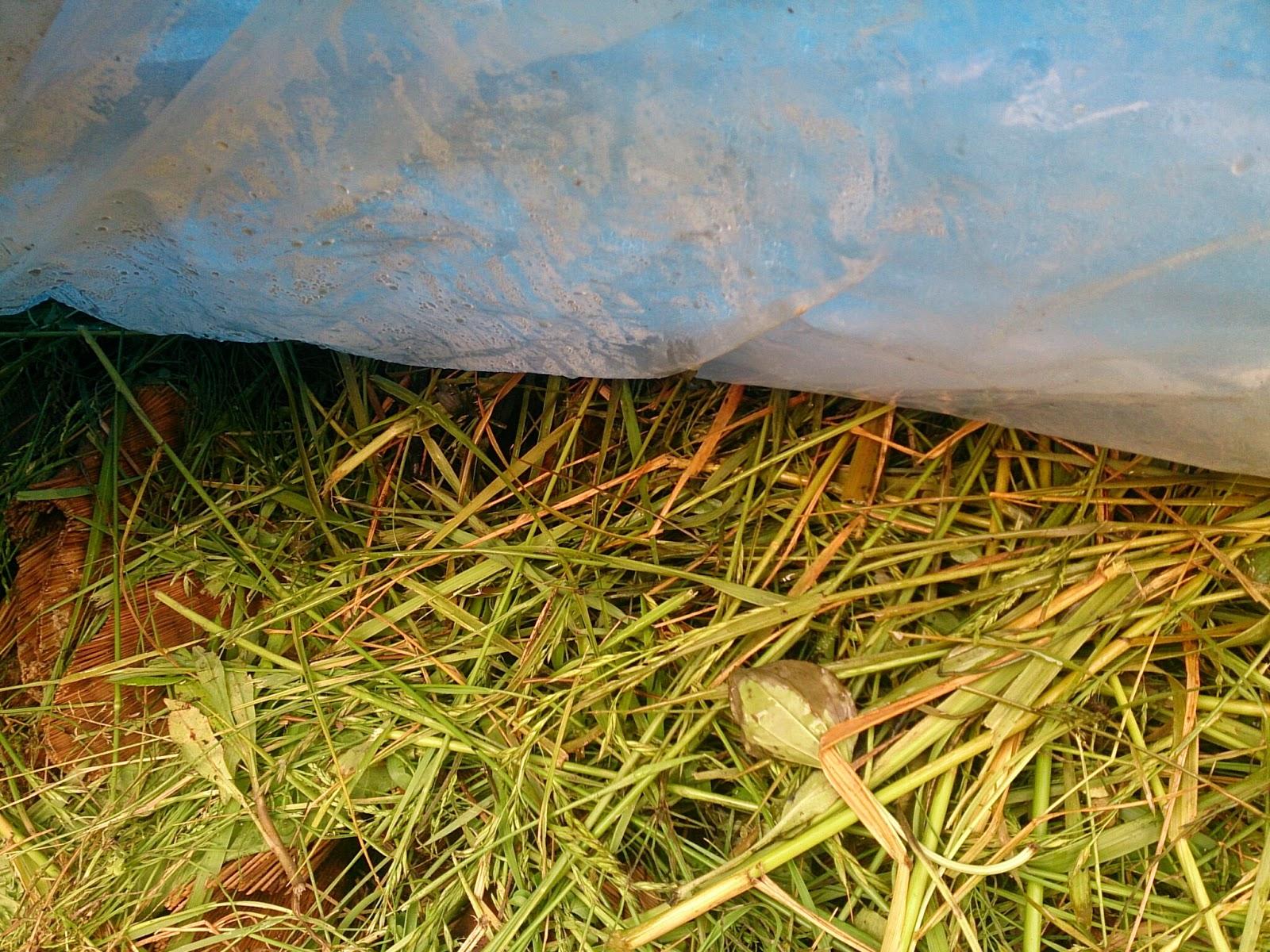 畳表堆肥 発酵