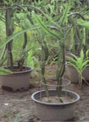 Pohon cactus