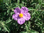 Pink Rock Rose; aka: Hairy Rockrose, Gum Cistus, Grey Rockrose, European Rock Rose, or, Balm of Gil