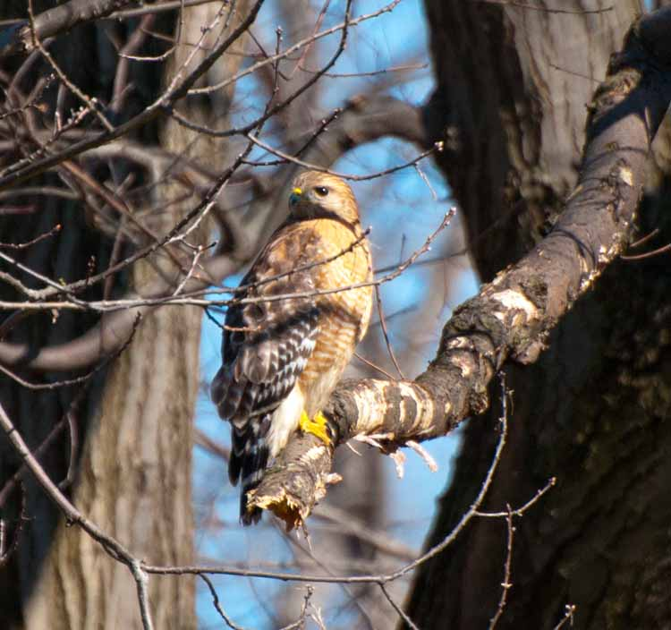 chris zimmer the great backyard bird count red shouldered hawks