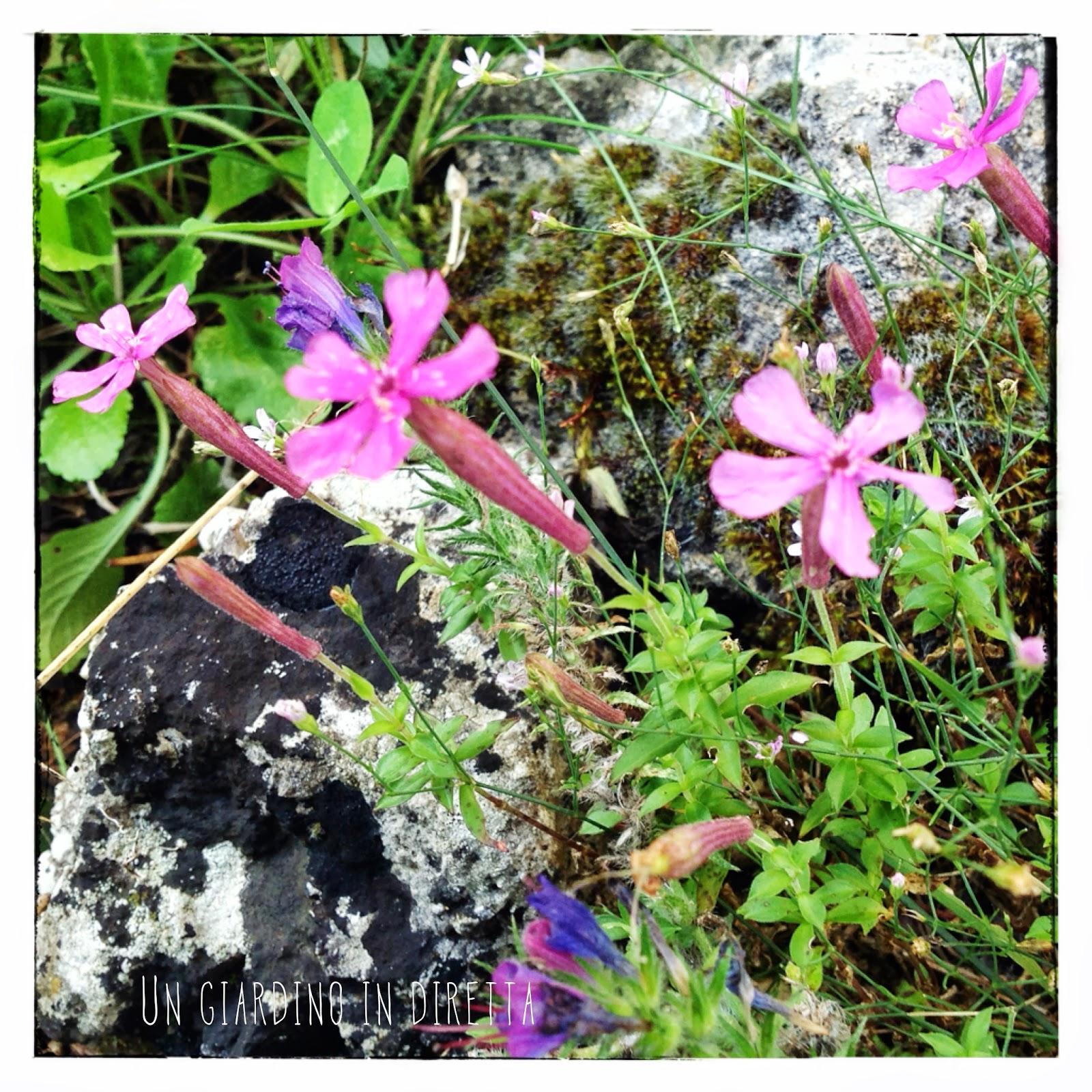 Fiori di montagna giardinoindiretta un giardino in diretta - Giardini di montagna ...