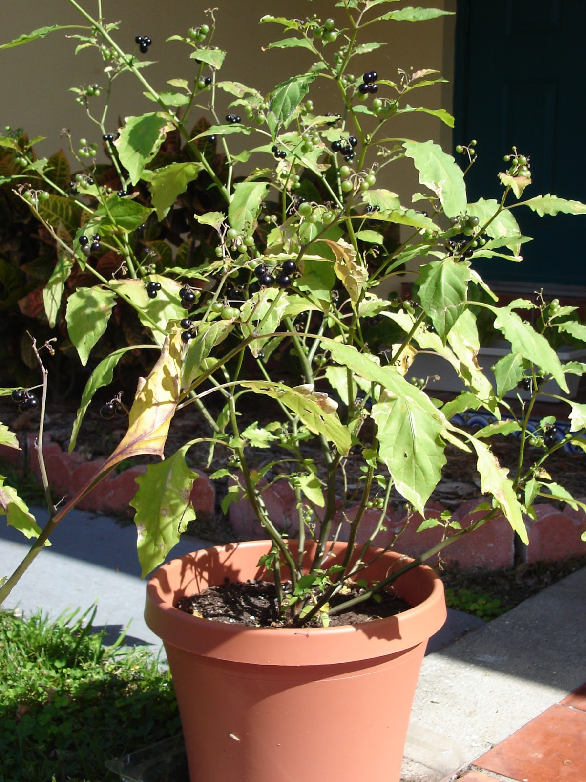 Plants Should Be Bushy. This One Needed More Fertilizer Or Compost.