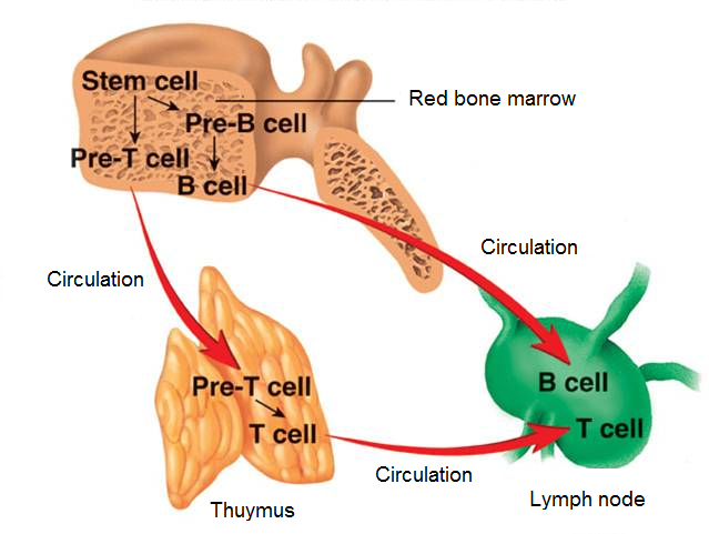 B lymphocytes and t lymphocytes mature in the thymus gland