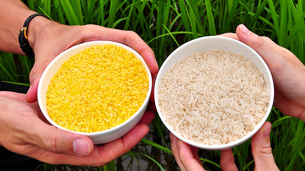 Here is an example of Golden Rice