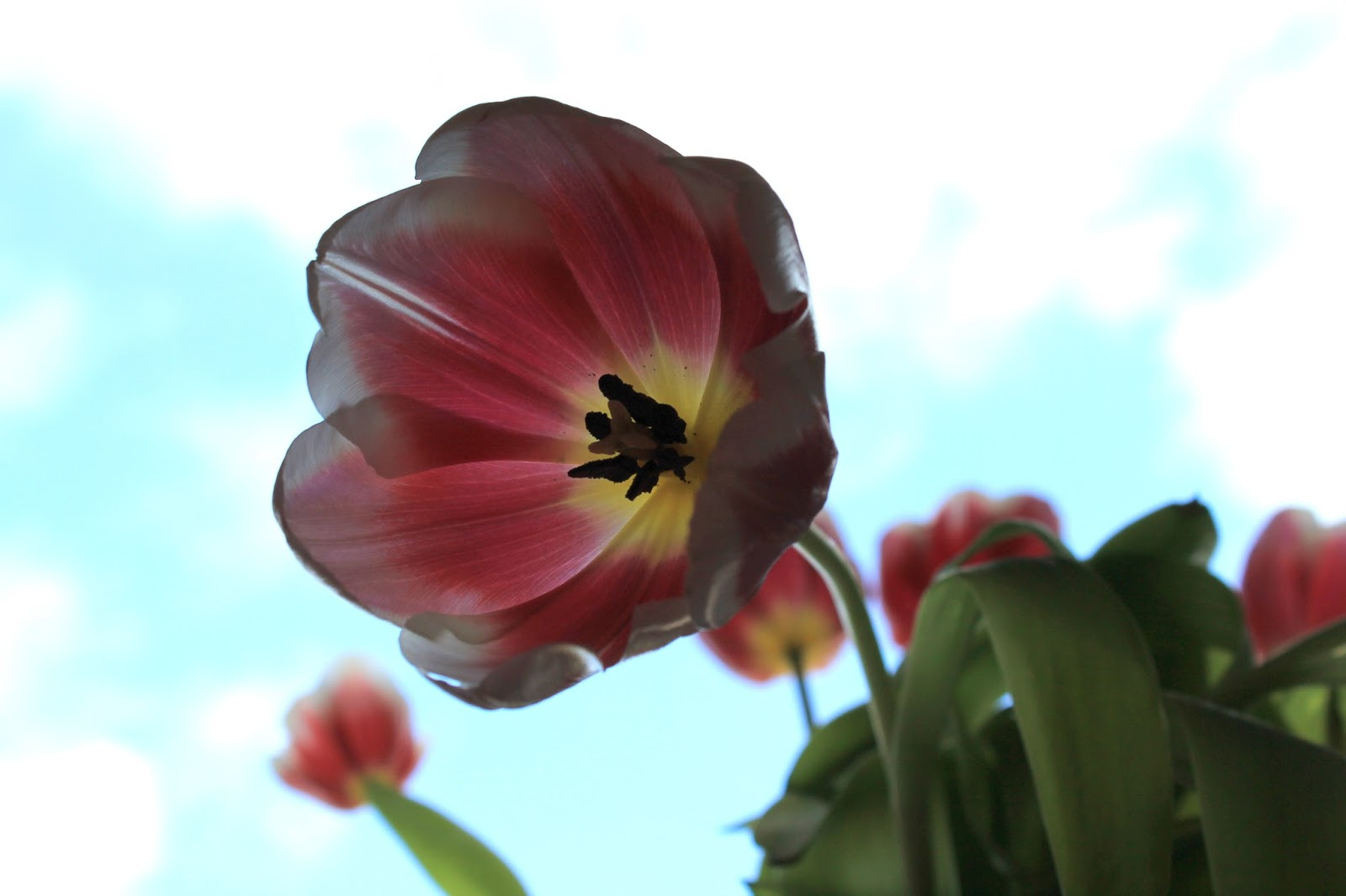 Tulpe im Kuechenfenster