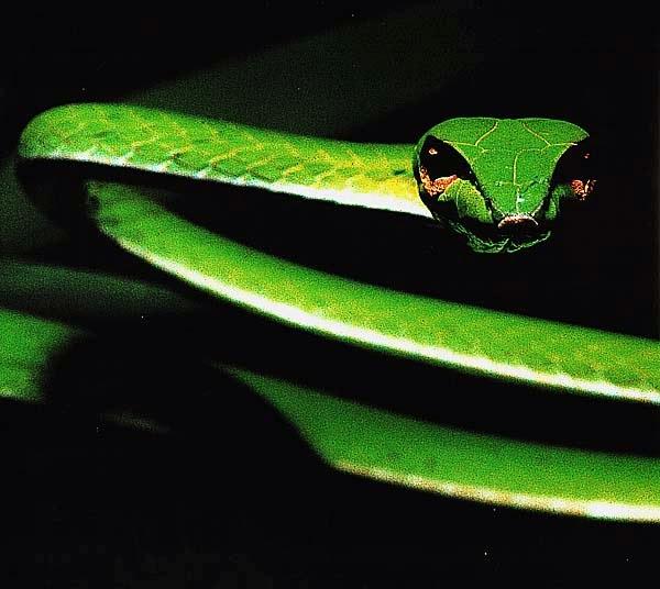 Изумрудная африканская змея