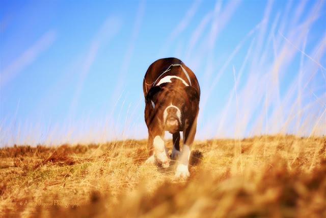 boxer dog ewalking in dry grass