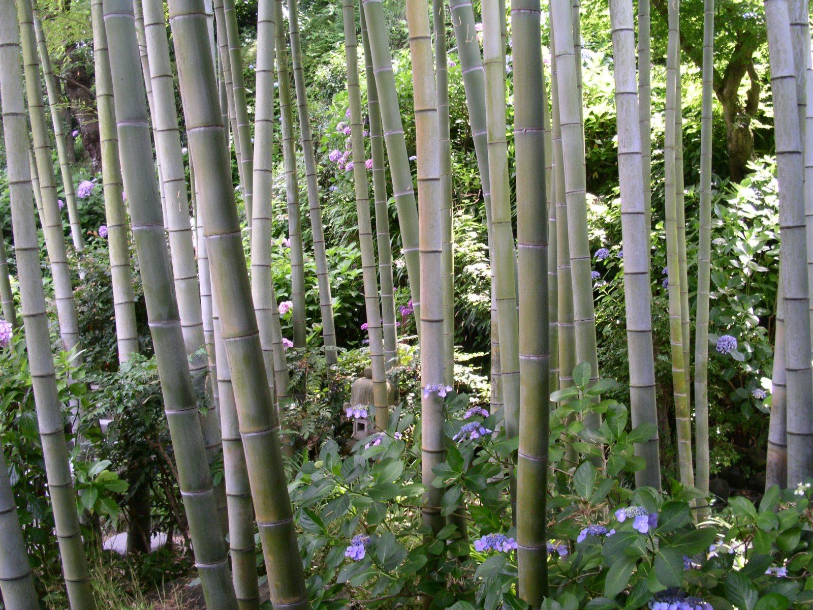 http://2.bp.blogspot.com/-MCgHhskMn4Q/Tq0c81vDFUI/AAAAAAAABe8/psuQswPOuC0/s1600/kamakura_bamboo_wallpaper.jpg