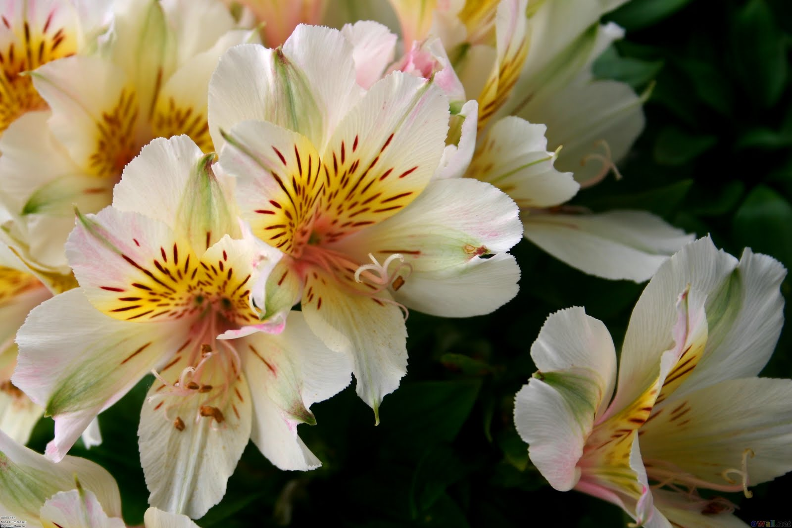 Chanel s Carnations Flower of the Day Alstroemeria