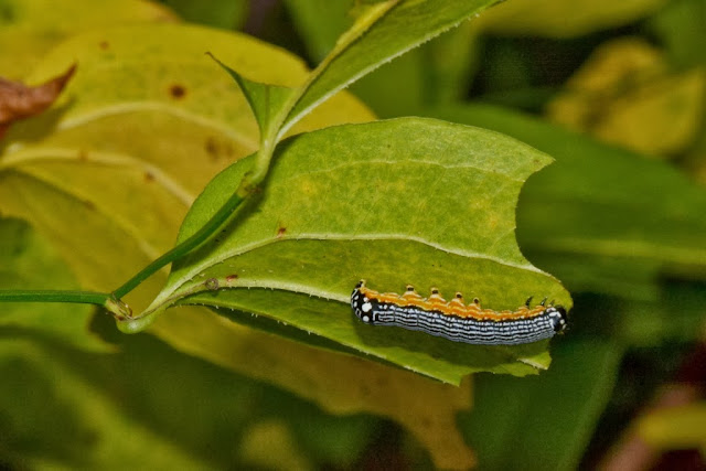 caterpillar of Turbulent Phosphila feeding on greenbrier