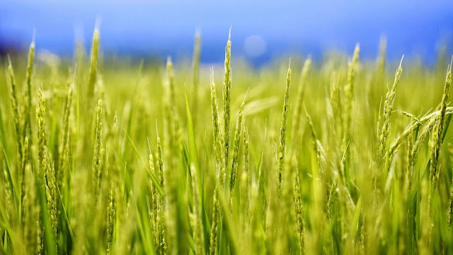 Rice plants HD Wallpaper