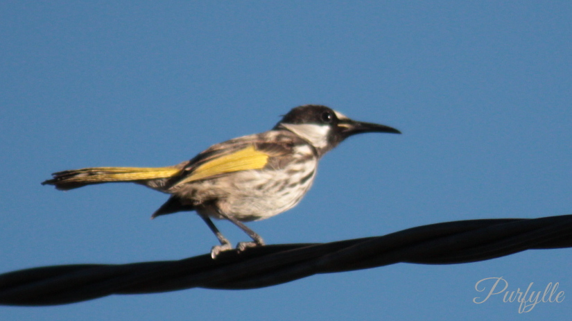 white cheaked honey eater