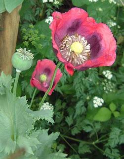 bunga pohon opium