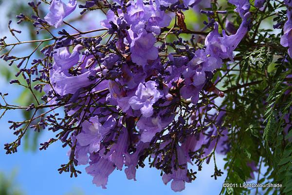 Violet Jacaranda flowers