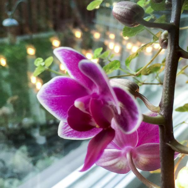 orkidé, phaleanopsis, orchid
