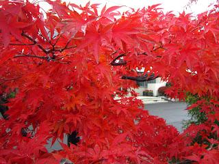 イロハモミジの深紅
