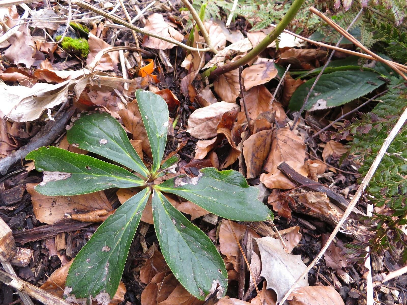 2014  2015 plants blog  helleborus orientalis