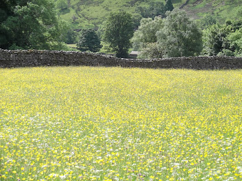 Fields of buttercups and daisies