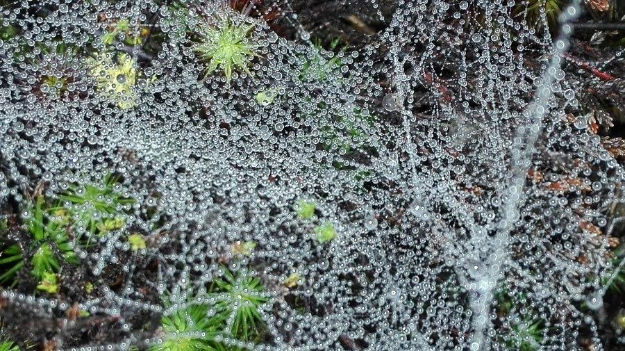 Sadat vesipisarat kimmeltävät hämähäkin seitissä