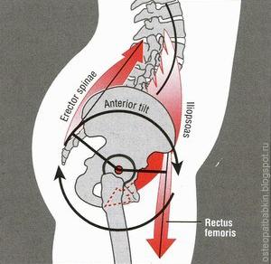 Нутация крестца, переднее положение тазовых костей и гиперлордоз поясничного изгиба обеспечиваются напряжением мышцы, выпрямляющей спину (musculus erector spinae), подвздошно-поясничной мышцей, четырёхглавой мышцей бедра.