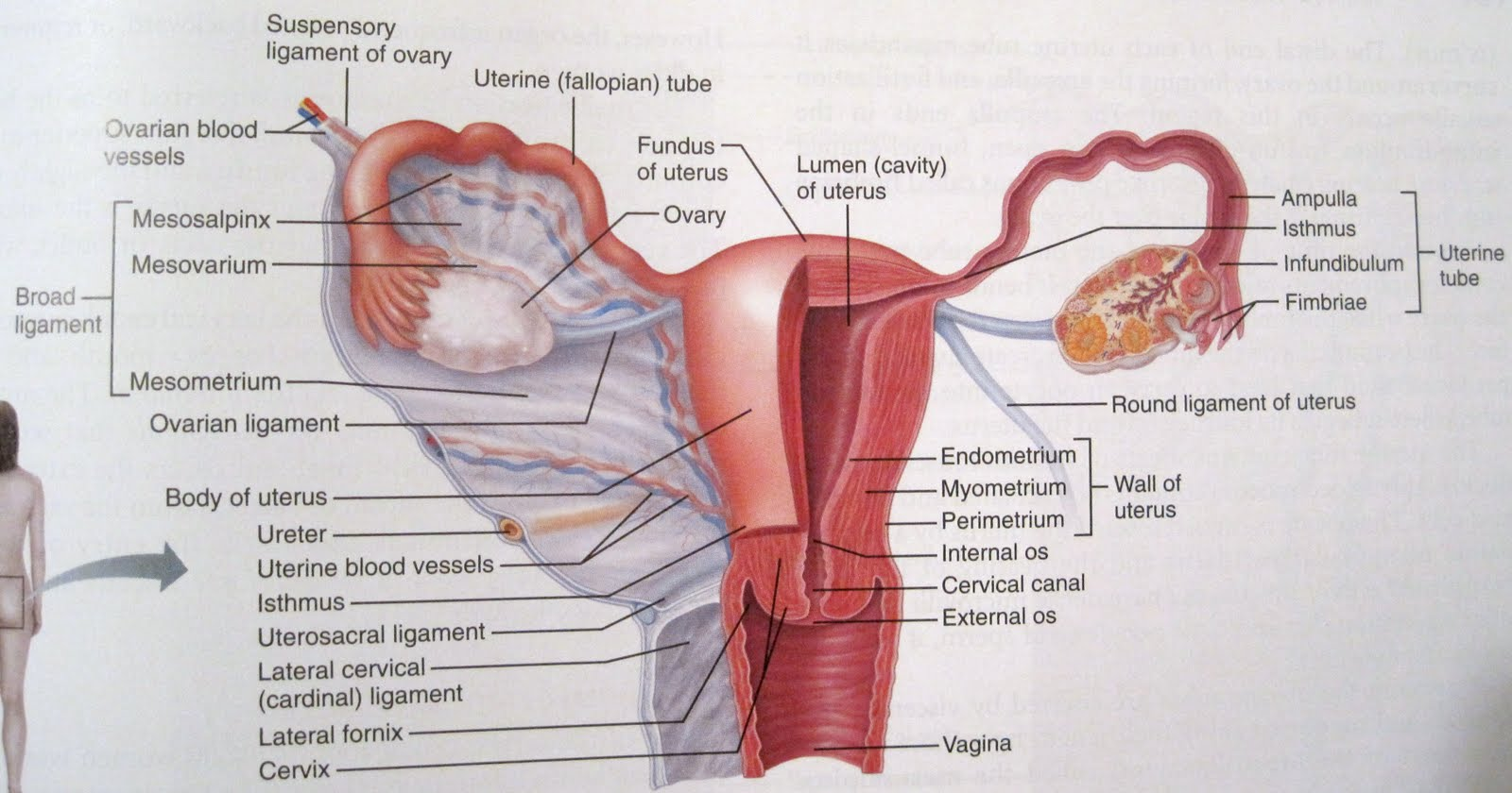 internal view of female reproductive system