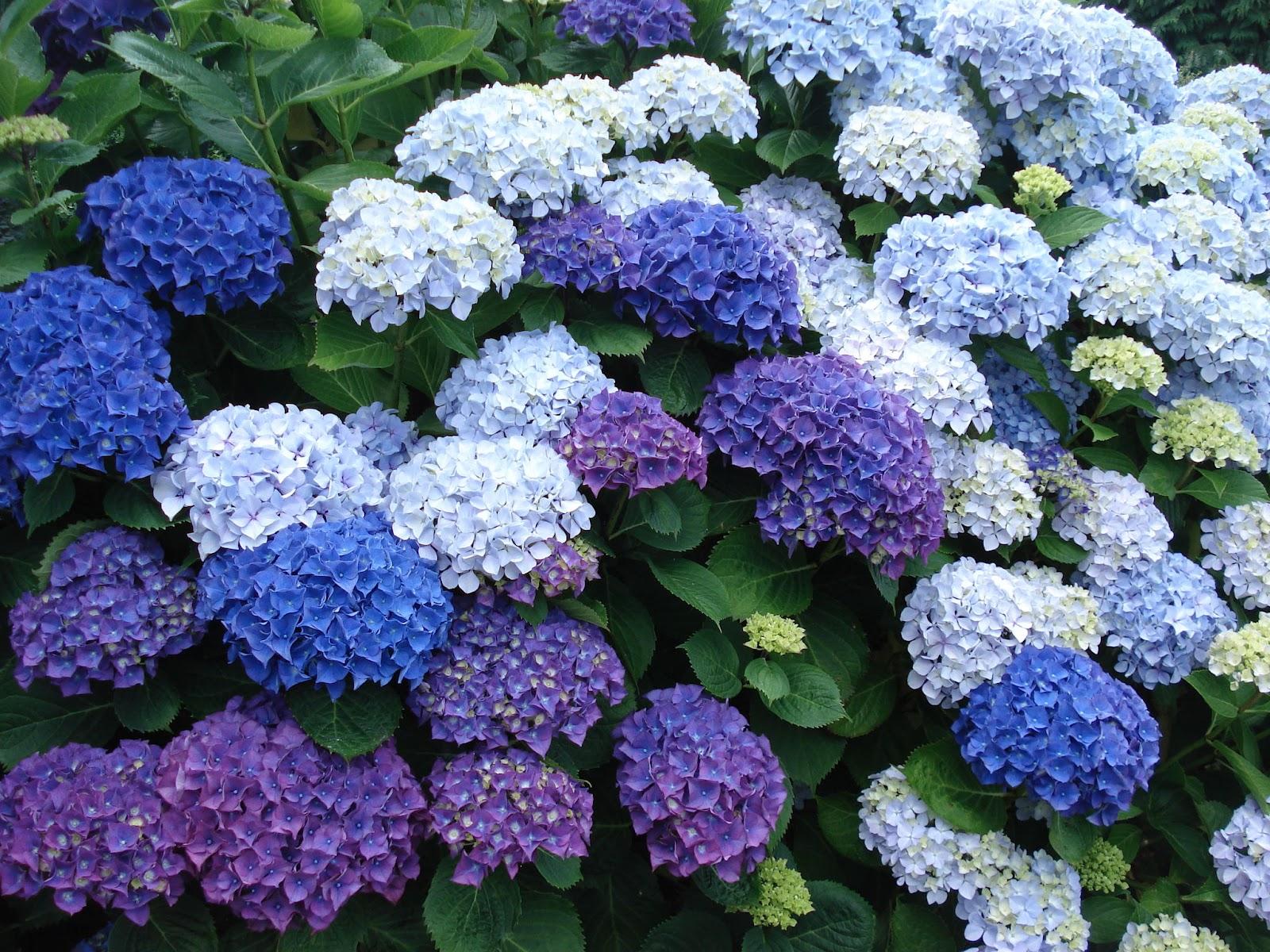Hortensias flore de l le de la r union Entretien jardin ile de la reunion
