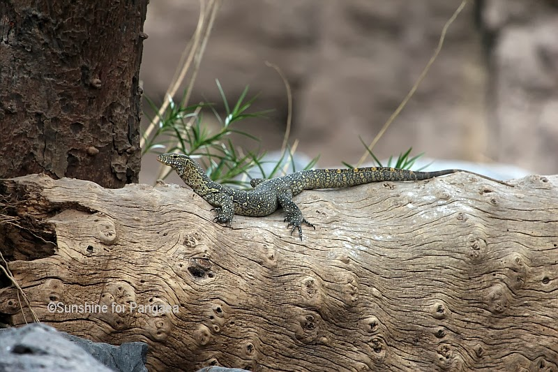 Nile Monitor in Ethiopia.