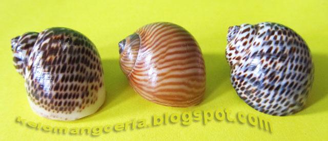 Hermit crab natural shell 2 / Cangkang alami Kelomang 2