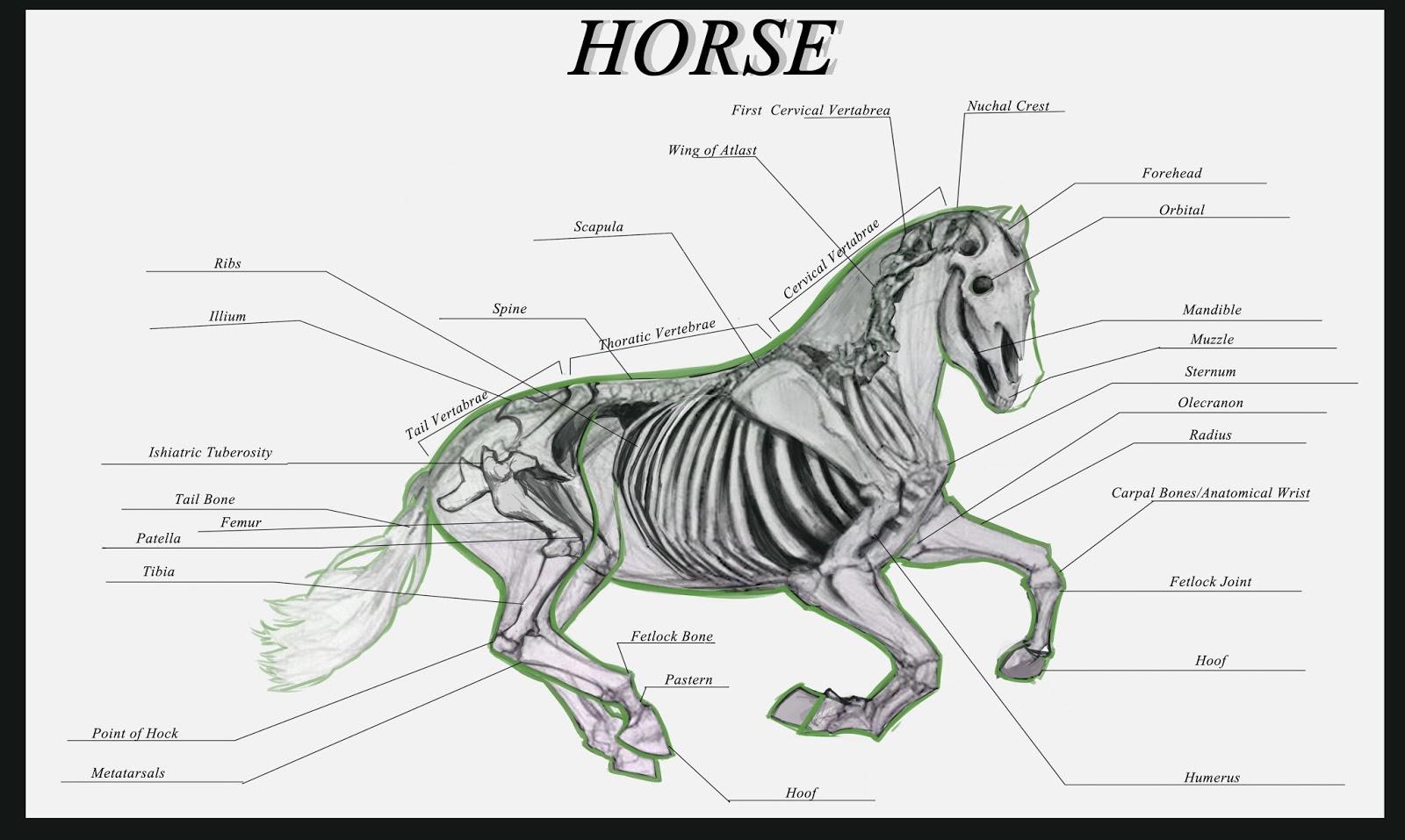 Randy Toroni\'s Artwork: Animal Anatomy: The Horse