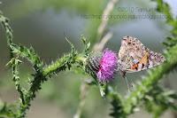 Papillon sur chardon (Belle-Dame) ou Vanesse du chardon