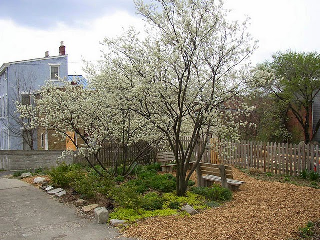Serviceberries form a nook in a backyard garden
