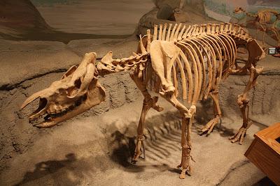 Trigonias skull