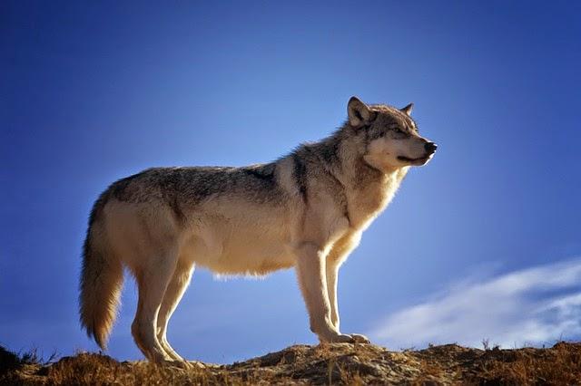 「狼」的圖片搜尋結果