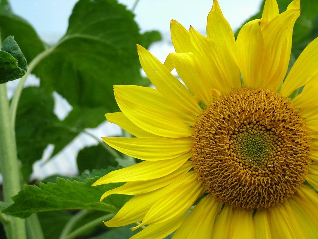Free Wallpapers Sunflower Wallpaper