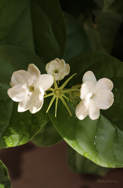jasmine, flower, white, plants, fragrance, perfume, scent, sarah myers, photography, photograph, garden, leaves, green, flores, macro, nature, natura, plantas, patio, blooms, petals, close-up, pure, beautiful