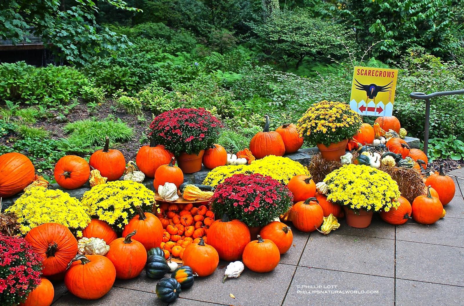 halloween scarecrows in the garden phillip u0027s natural world