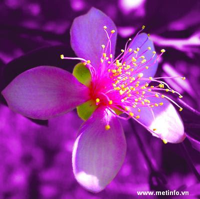 Những đồi hoa sim ~ Blog Hoàng Nam Sơn