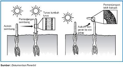 Peranan cahaya pada pembengkokan organ tumbuhan