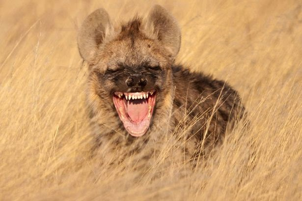 Man Lets Hyena Eat His GENITALS After Being Told It Would Make Him Rich