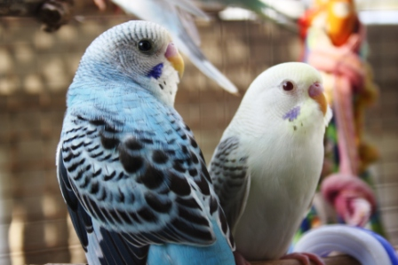 White Baby Parakeet Finchity Finches!: Our...