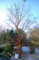 Acer griseum in winter at bluebell nursery